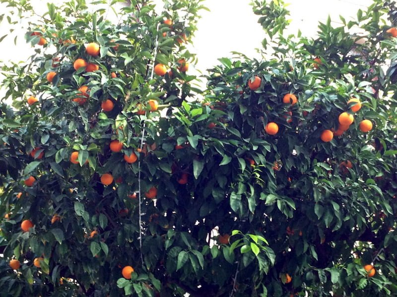 orange trees in Sevilla Spain
